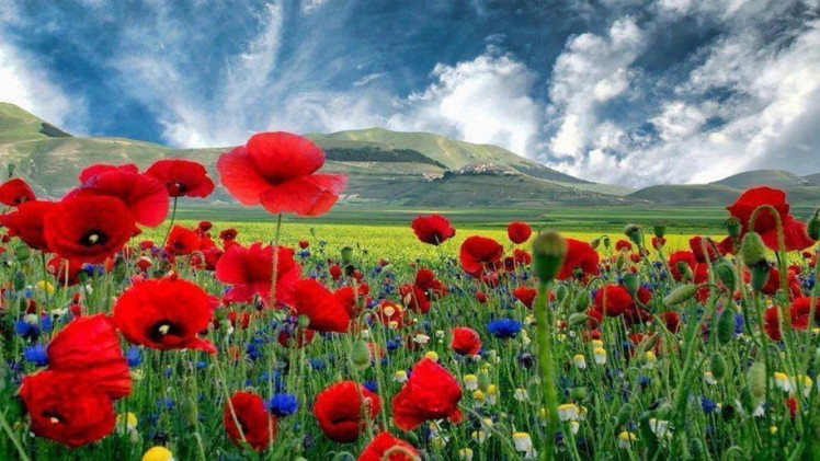 beautiful-hd-background-with-poppies-915x515-1